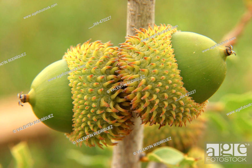 Stock Photo: Kermes Oak (Quercus coccifera), acorns.