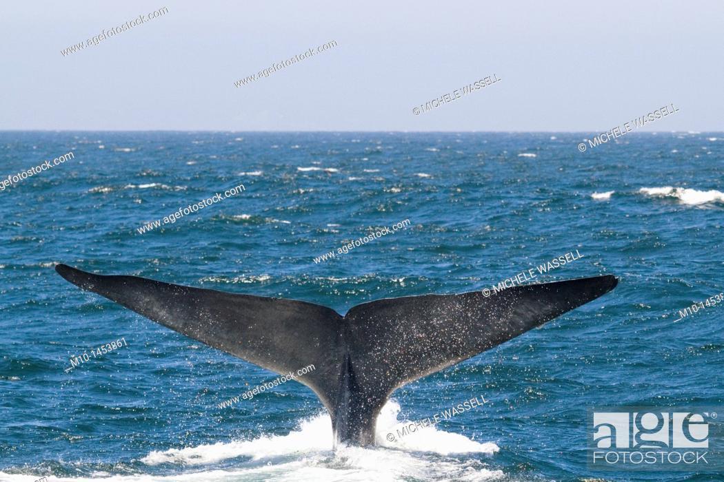 Stock Photo: A Blue Whale tail fluke.