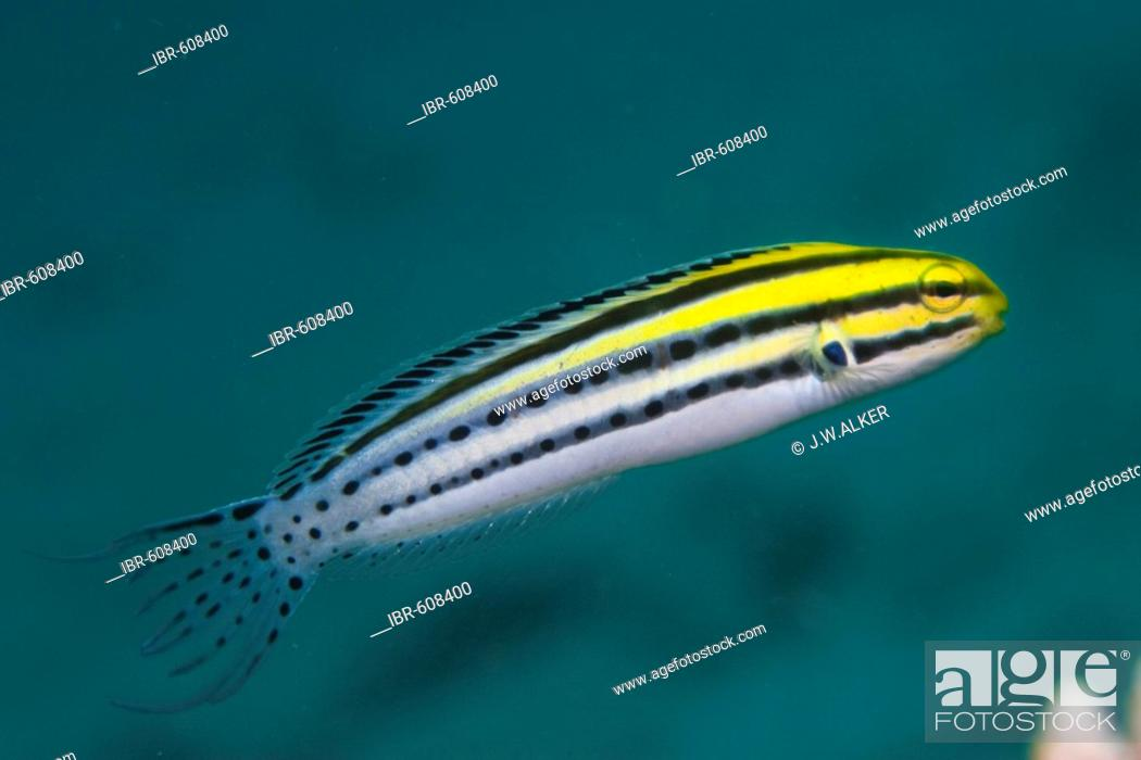 Stock Photo: Striped Poison-Fang Blenny or Canary Blenny (Meiacanthus grammistes), Indonesia, Asia.