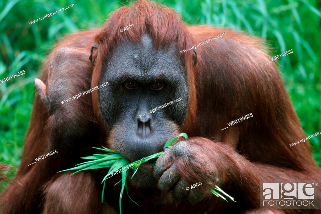 Stock Photo: Sumatran, Orang, Utan, female,Pongo, pygmaeus, abelii.
