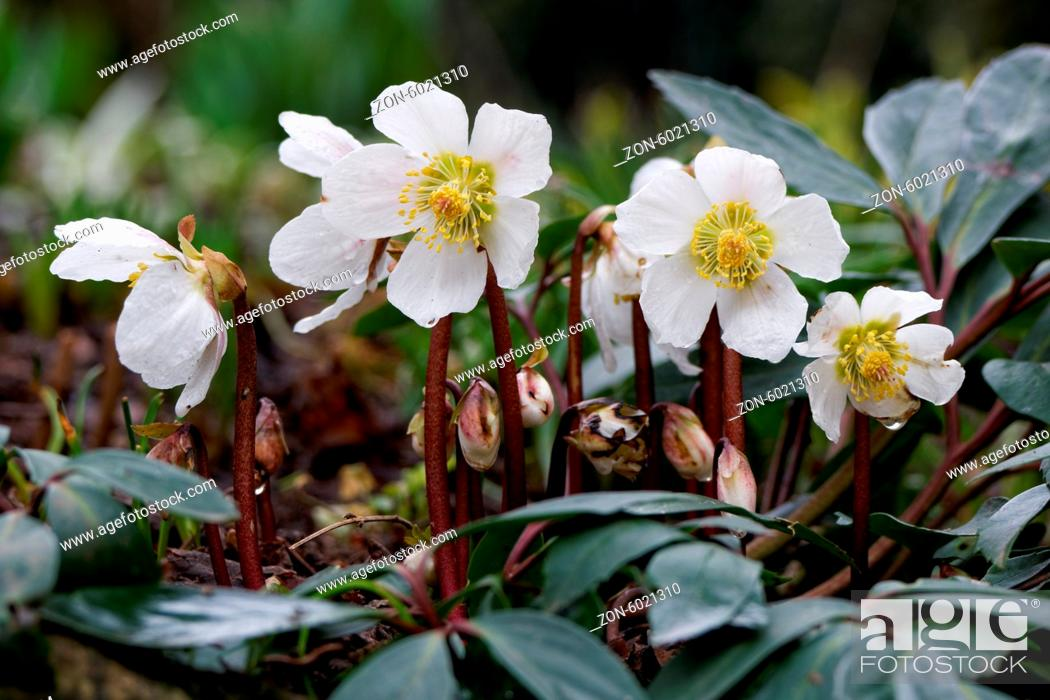 Stock Photo: Flora, Schnee, Macro, Helleborus Niger, Ornamental Plant, Hellebore, Garten, Christmas Rose, Nature, Winter, Plant, Spring, Garden, Snow, Blossom, Helleborus