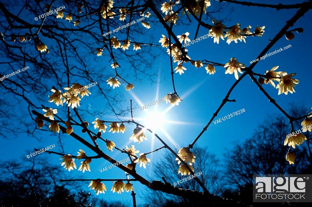 Stock Photo: Sun Behind Blossoming Branches.