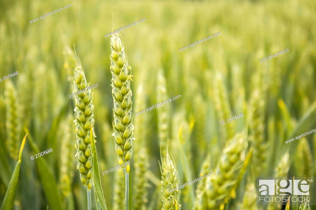 Stock Photo: detail of organic green grains.