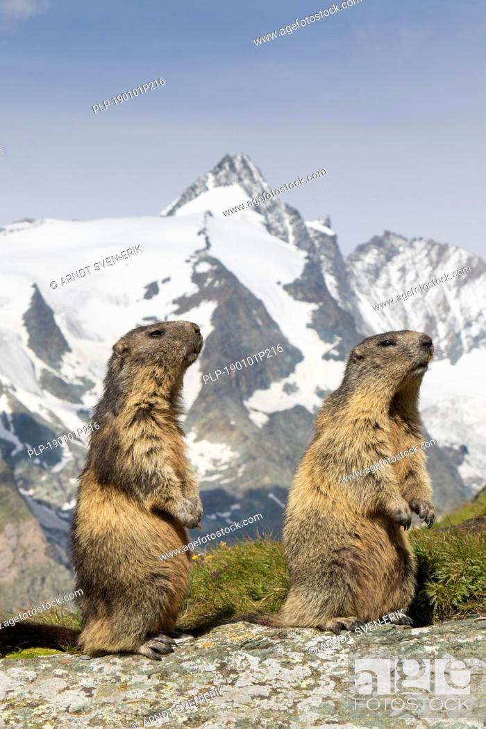 Stock Photo: Alpine marmots (Marmota marmota) couple in front of the snow covered mountain Grossglockner, Hohe Tauern National Park, Carinthia, Austria.