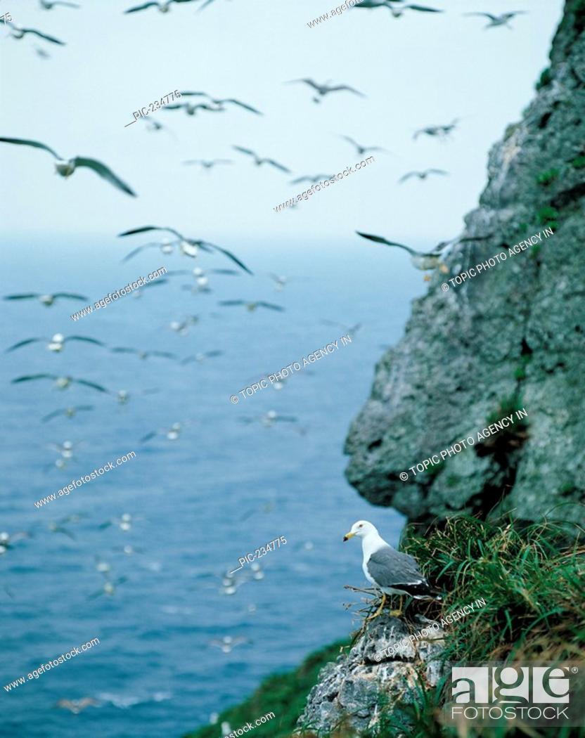Stock Photo: Seagulls,Korea.