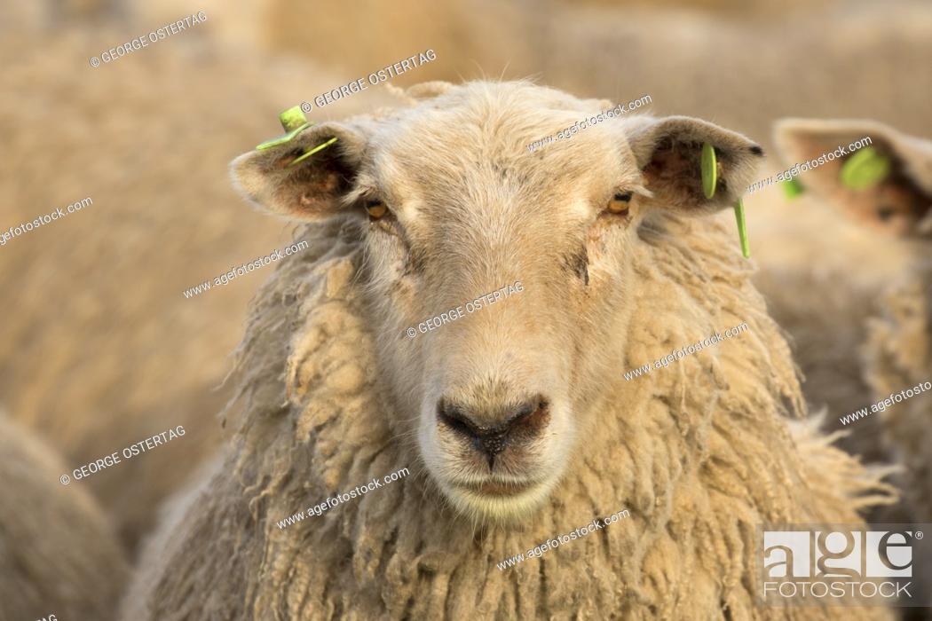 Stock Photo: Sheep, Marion County, Oregon.