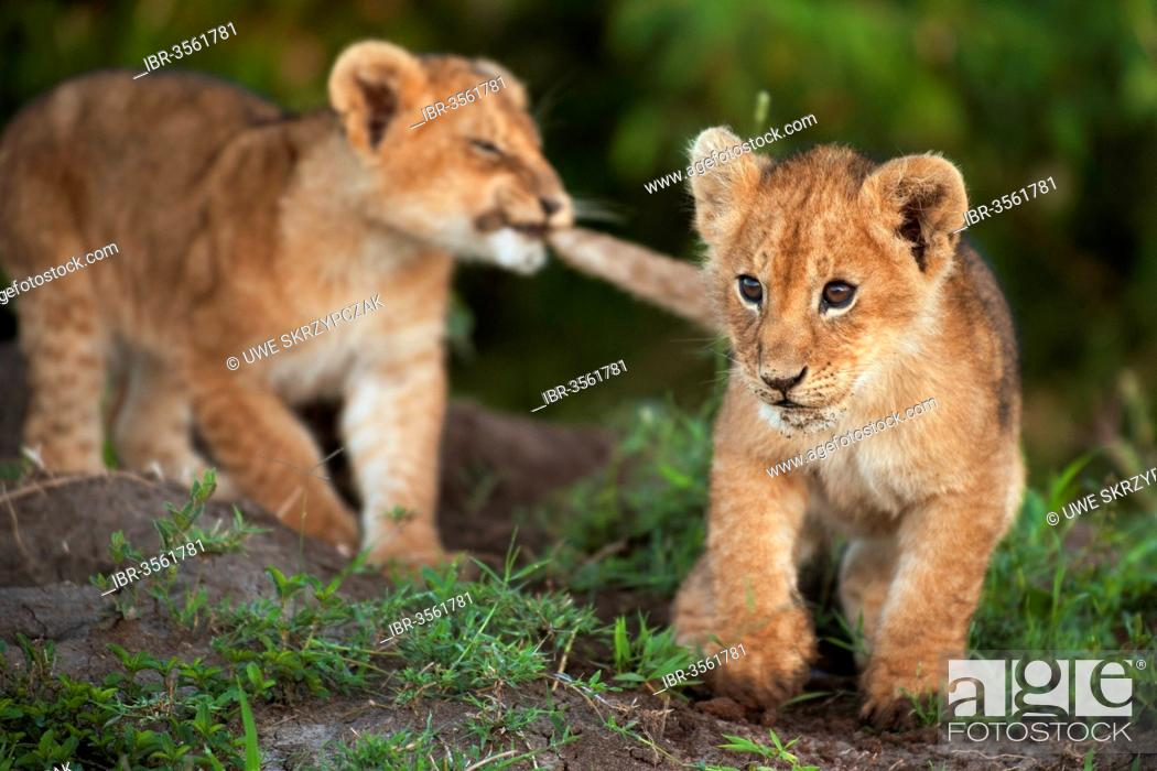 Stock Photo: Lion cubs (Panthera leo) larking about in the early morning light.