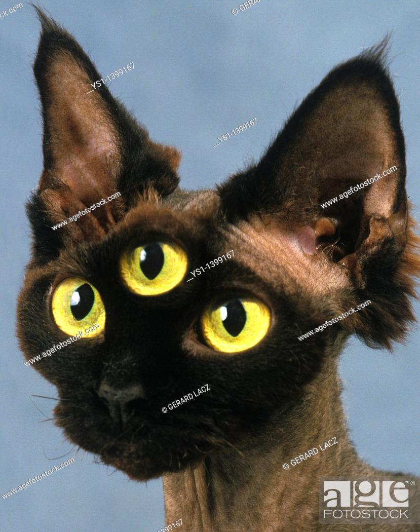 Stock Photo: Devon Rex Domestic Cat, Portrait, Digital Composite.