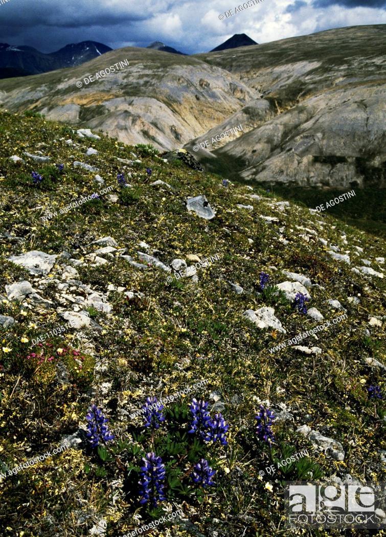 Stock Photo: Arctic Lupine (Lupinus arcticus), Mackenzie Mountains, Canada.