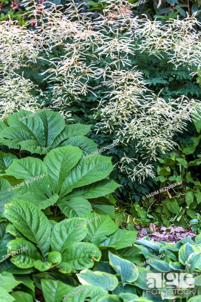 Stock Photo: Aruncus aethusifolius ' Sommeranfang ', Rodgersia pinnata and Hosta, flowers for shady parts of the garden.