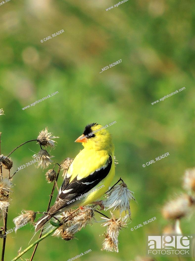 Stock Photo: An American Goldfinch, Spinus tristis, takes a break from feeding on a late summer day, Pennsylvania, USA.