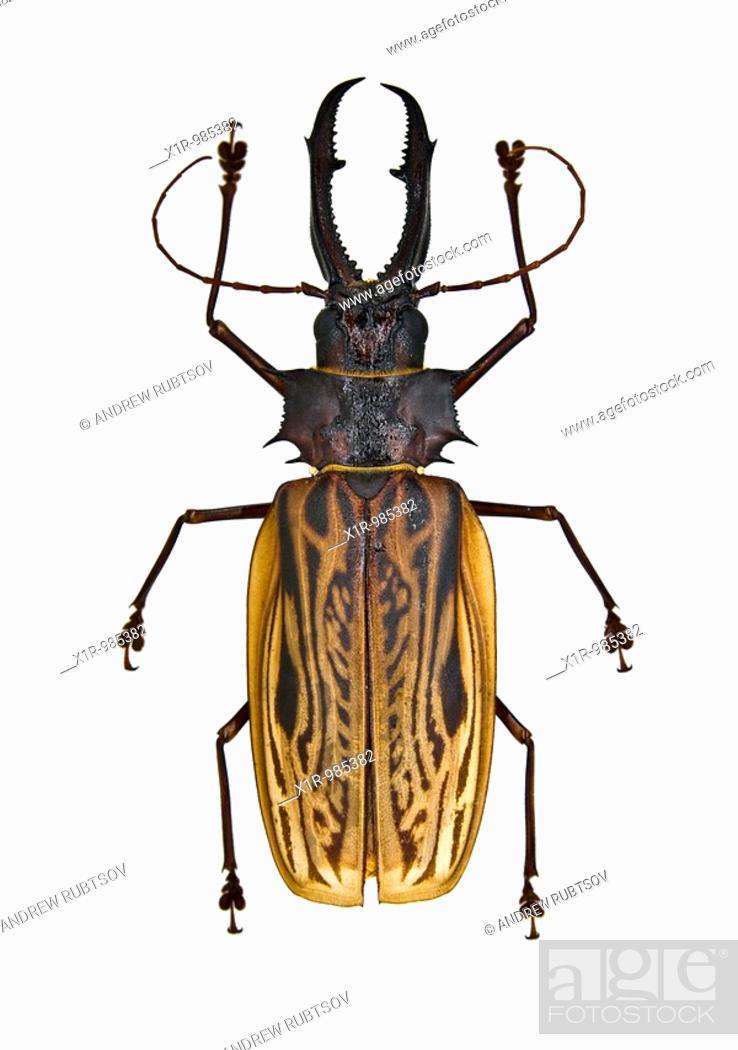Stock Photo: Giant Bolivian long-horned beetle on white background Cerambycidae.