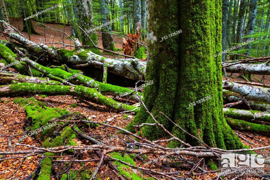 Stock Photo: Integral Nature Reserve, Lizardoia, Selva de Irati, Navarra, Spain, Europe.