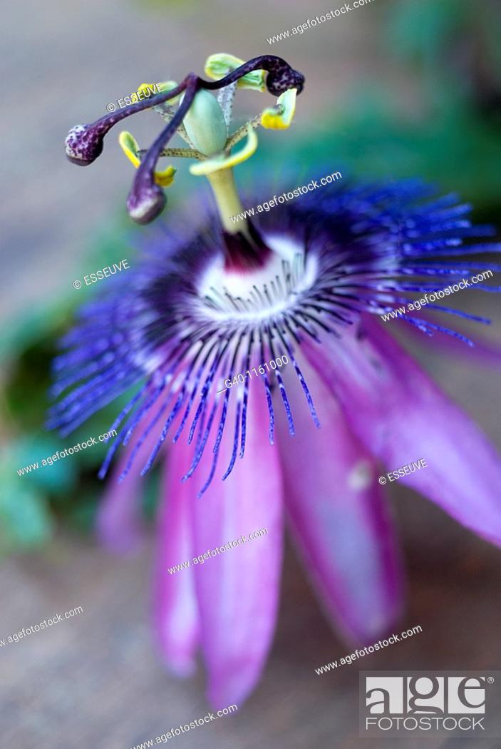 Stock Photo: Passion-flowers (Passiflora coerulea).