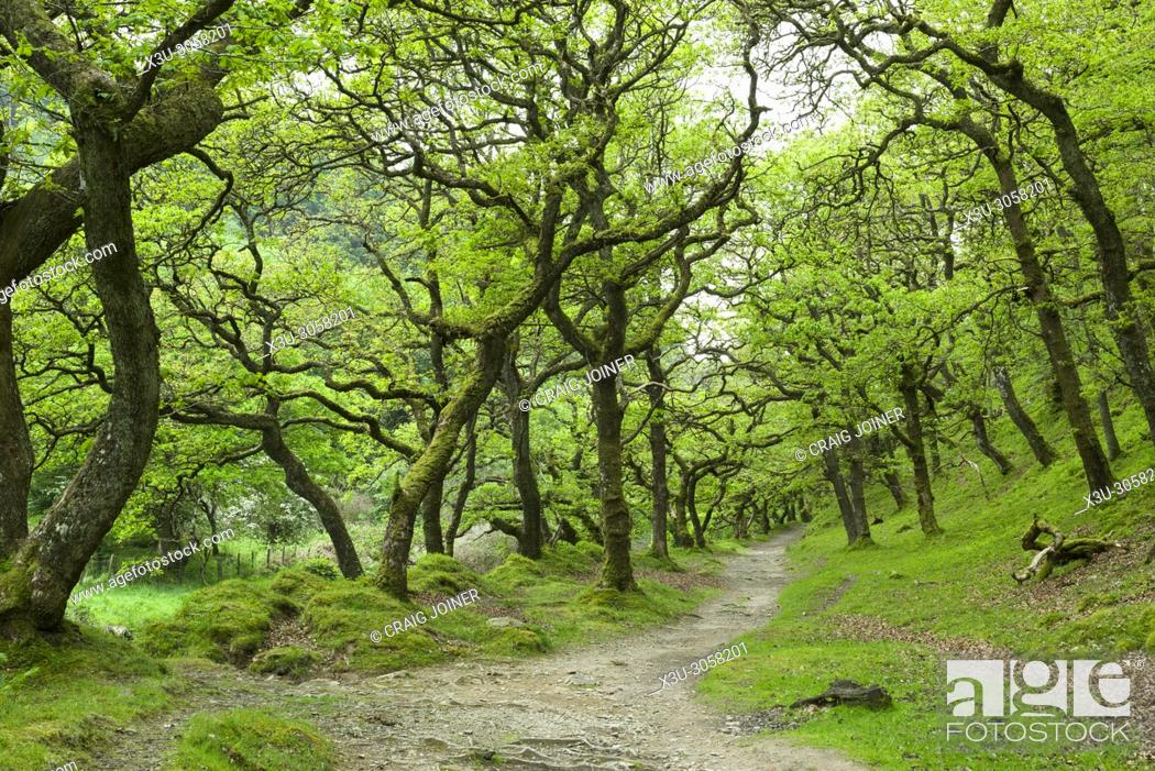 Stock Photo: Sessile oak trees in Badgworthy Wood in the Doone Valley near Malmsmead in Exmoor National Park, Devon, England.