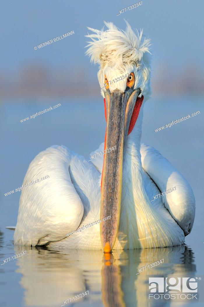 Stock Photo: Dalmatian Pelican (Pelecanus crispus) in breeding plumage, Lake Kerkini, Greece, January 2010.