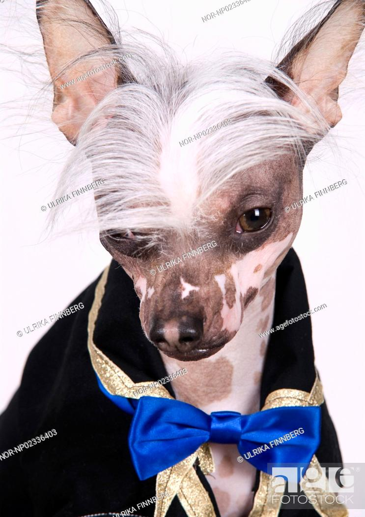 A Chinese Crested Dog With Clothes And