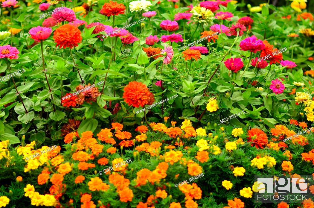 Stock Photo: Zinnias and marigolds clustered together in soft-focus, Pennsylvania, USA.