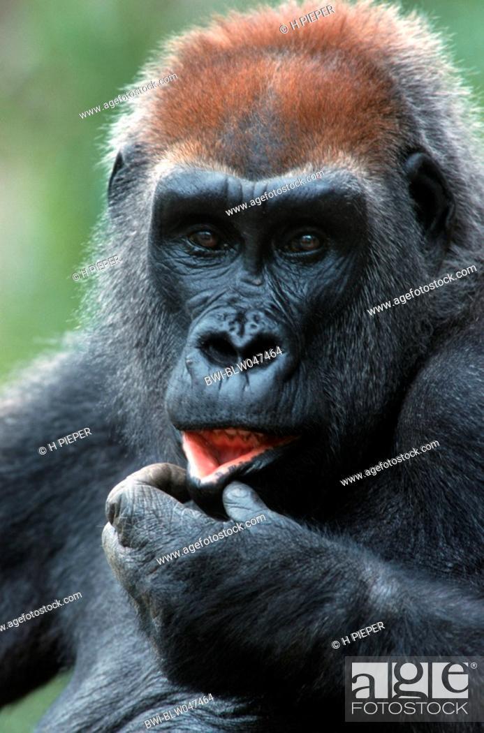 57e4fafa16 Stock Photo - gorilla Gorilla gorilla