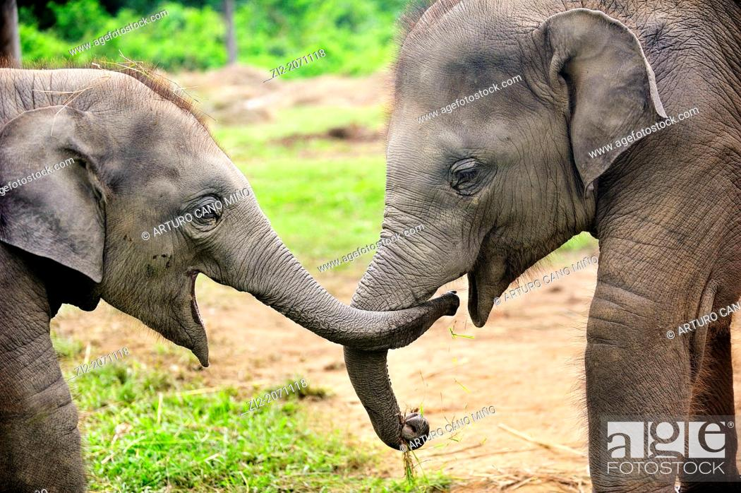 Stock Photo: Elephant calves Elephas maximus, Elephant Breeding Center, Chitwan National Park, Nepal.