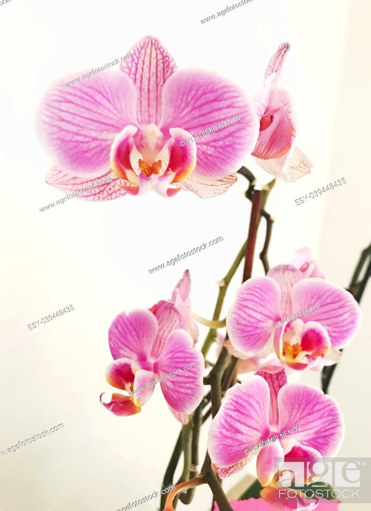 Stock Photo: Blooming pink orchid.