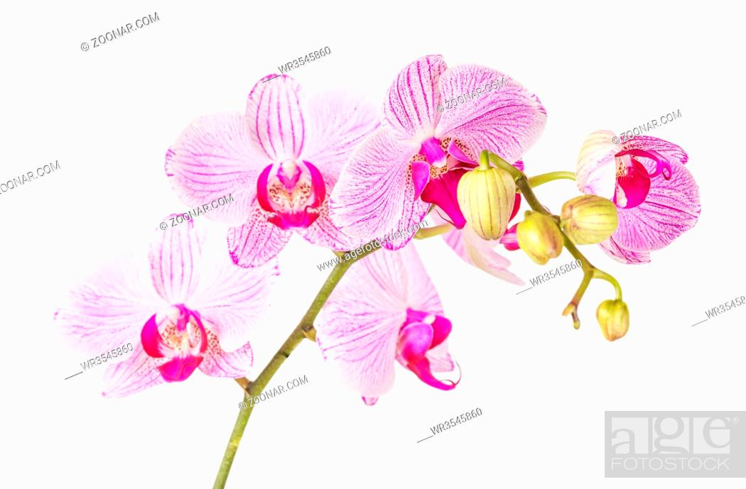 Stock Photo: White and pink orchid flower isolated on a white background.