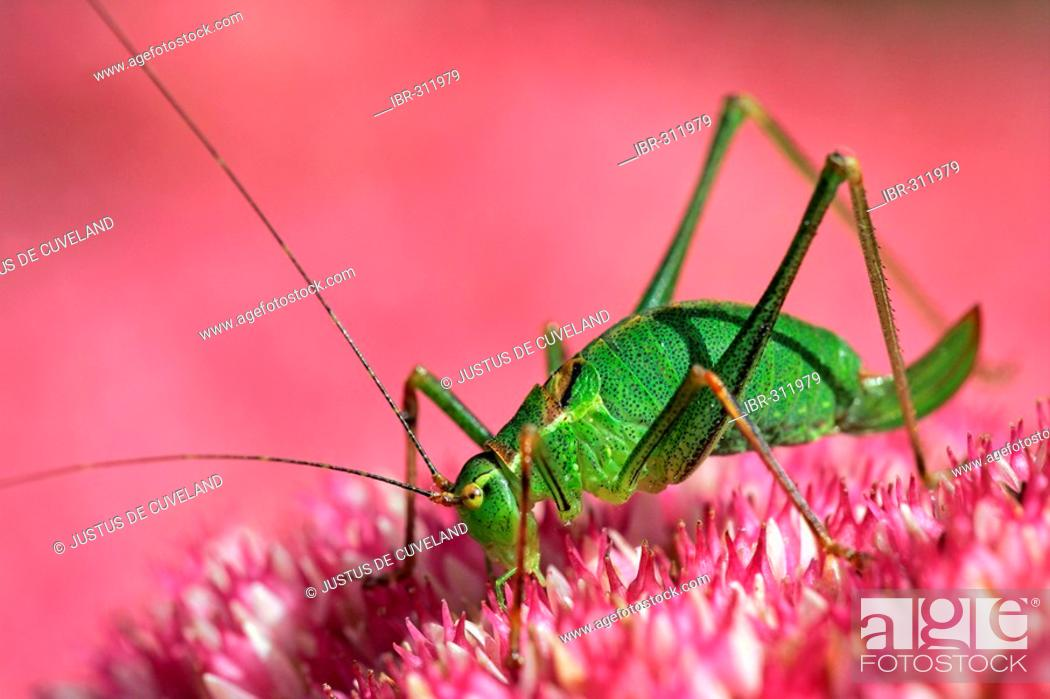 Stock Photo: Female speckled bushcricket sitting on a flowering stonecrop - sedum live-forever - orpine - livelong - (Leptophyes punctatissima) (Sedum telephium cultivar.
