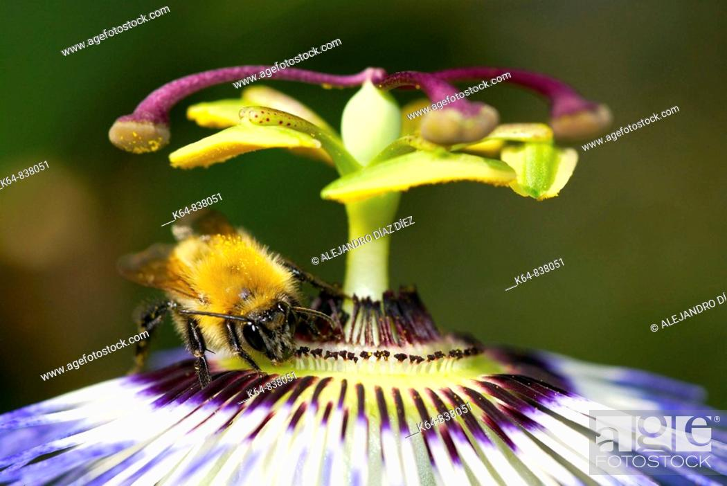 Stock Photo: Bumblebee in Passion flower PASSIFLORA SP.