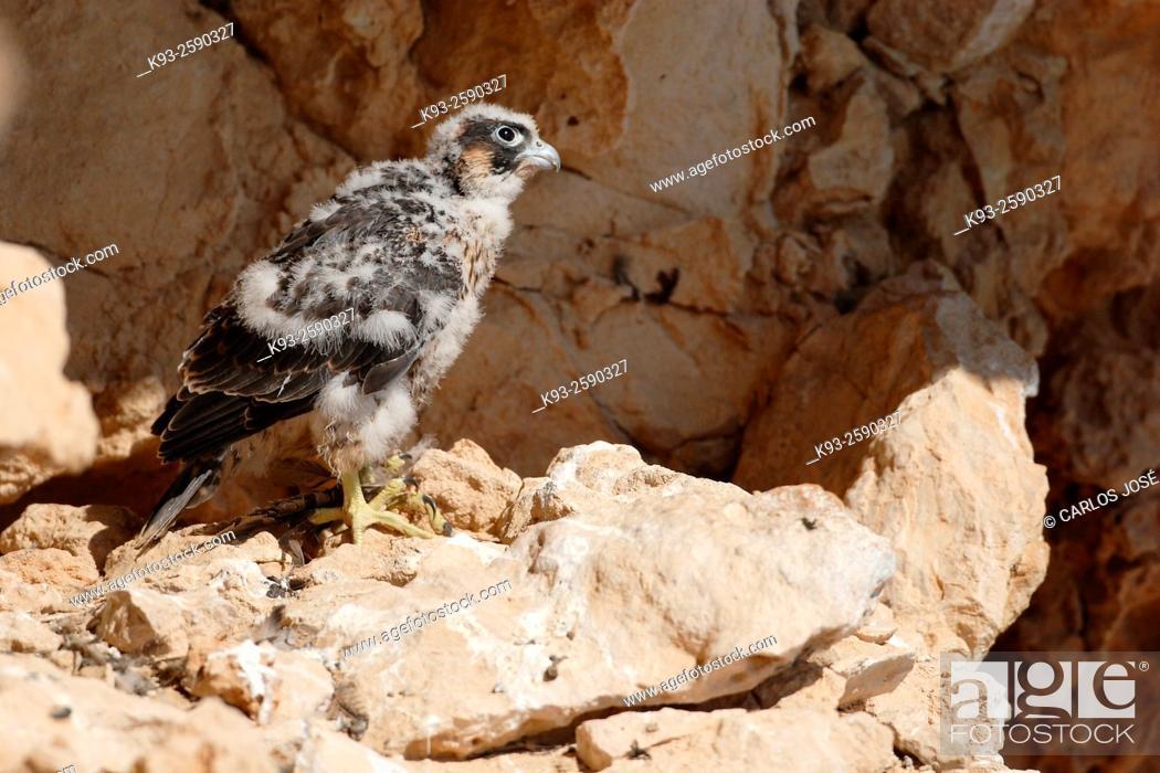 Stock Photo: Halcón Peregrino (Falco peregrinus) en la Serra de Tramuntana, Mallorca, Islas Baleaeres.