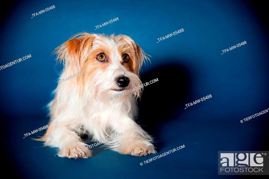 Stock Photo: lying Parson-Russell-Terrier-Mongrel.