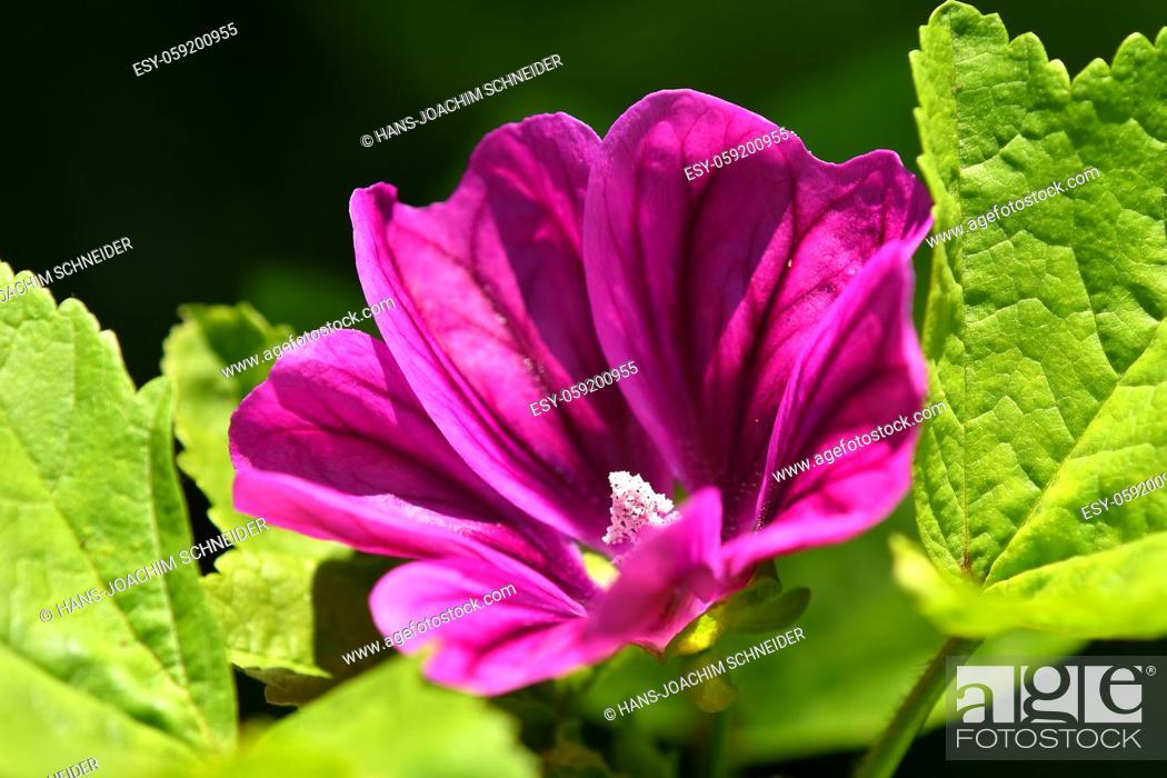Stock Photo: mallow, medicinal plant flower.