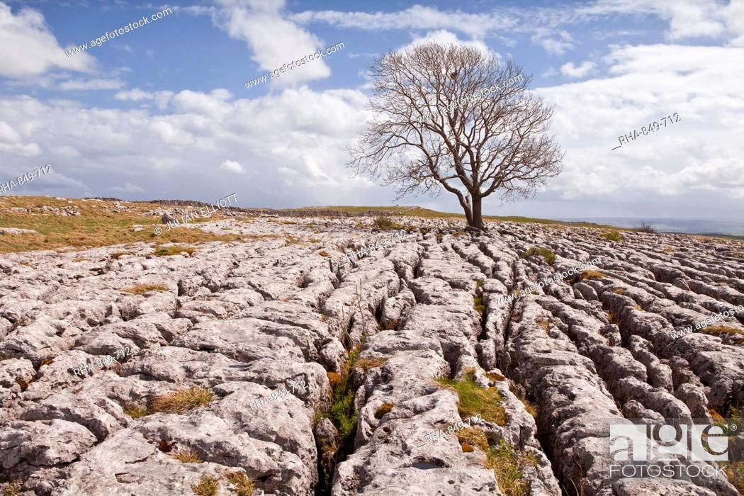 Stock Photo: An old and twisted tree in a limestone pavement near to Malham in the Yorkshire Dales, Yorkshire, England, United Kingdom, Europe.