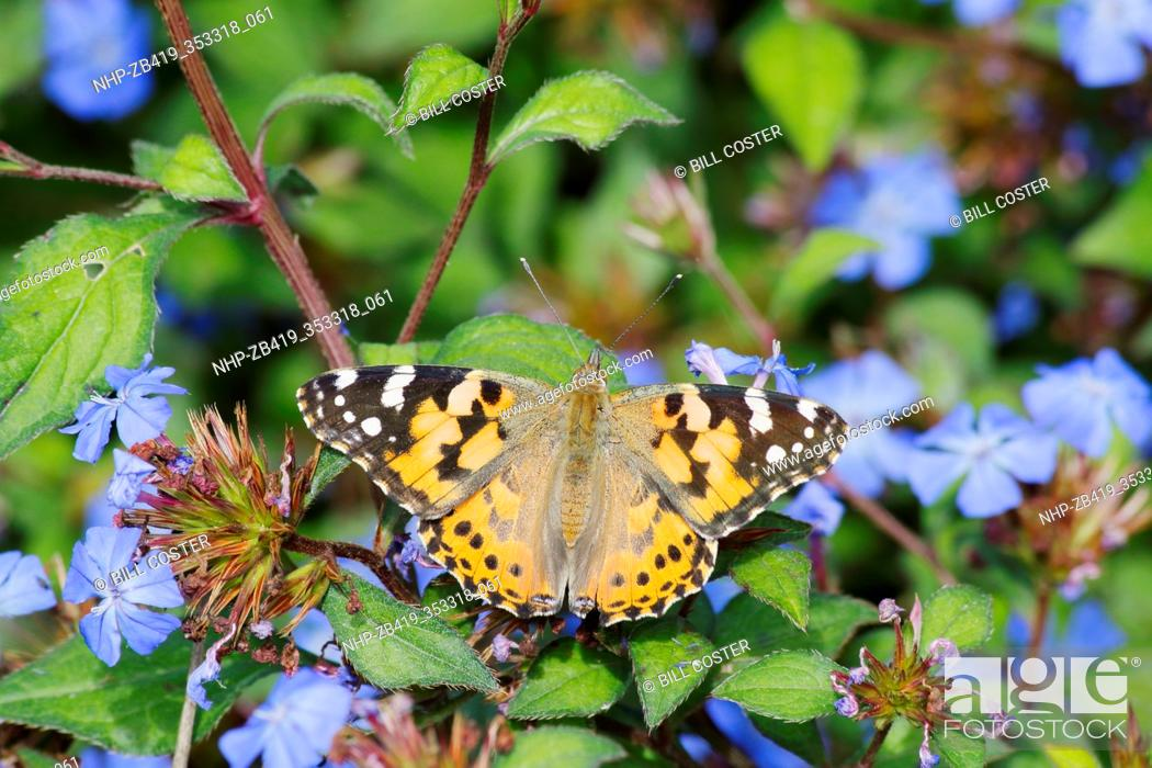 Stock Photo: Painted Lady Butterfly - feeding on Plumbago flower Venessa cardui Essex, UK IN001287.