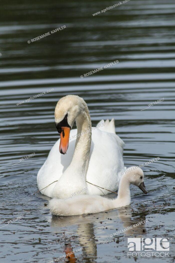 Stock Photo: A mute swan on the riverside of the saar. Germany, Saarland, Saarbruecken.