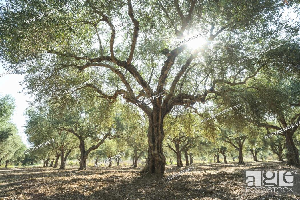 Stock Photo: Olive trees and sun rays. Olive plantation.