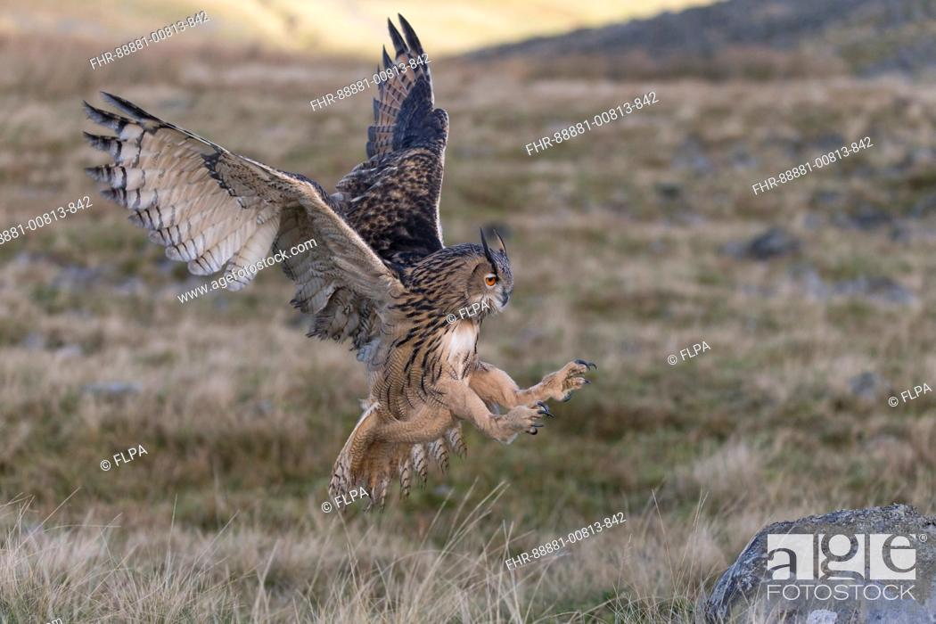 Stock Photo: Eurasian Eagle Owl (Bubo bubo) adult, flying, landing on rock in moorland, Peak District, Cumbria, November, controlled subject.