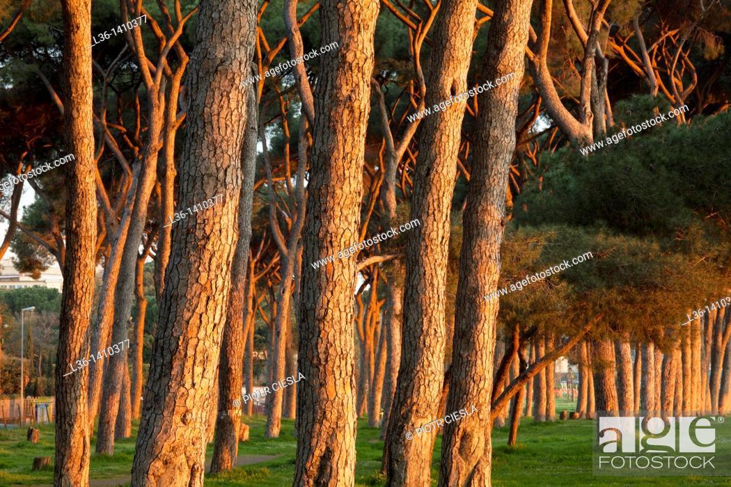 Stock Photo: Rome  Pines.