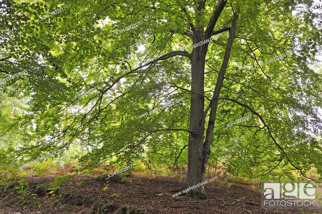 Stock Photo: common beech tree in the Forest of Rambouillet, Haute Vallee de Chevreuse Regional Natural Park, Department of Yvelines, Ile de France Region, France, Europe.