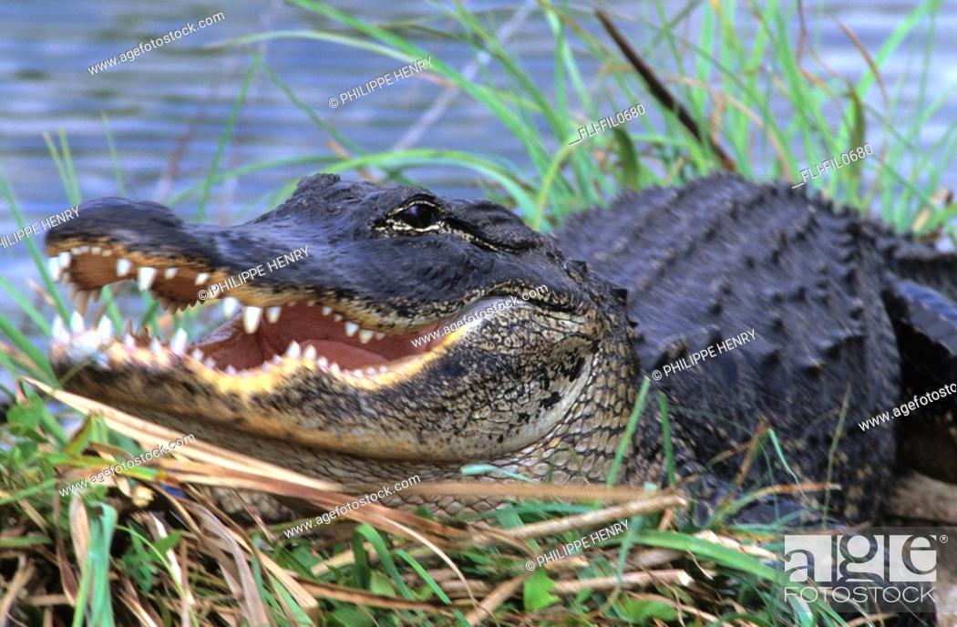 Stock Photo: American Alligator, Fort Bend County, Texas.
