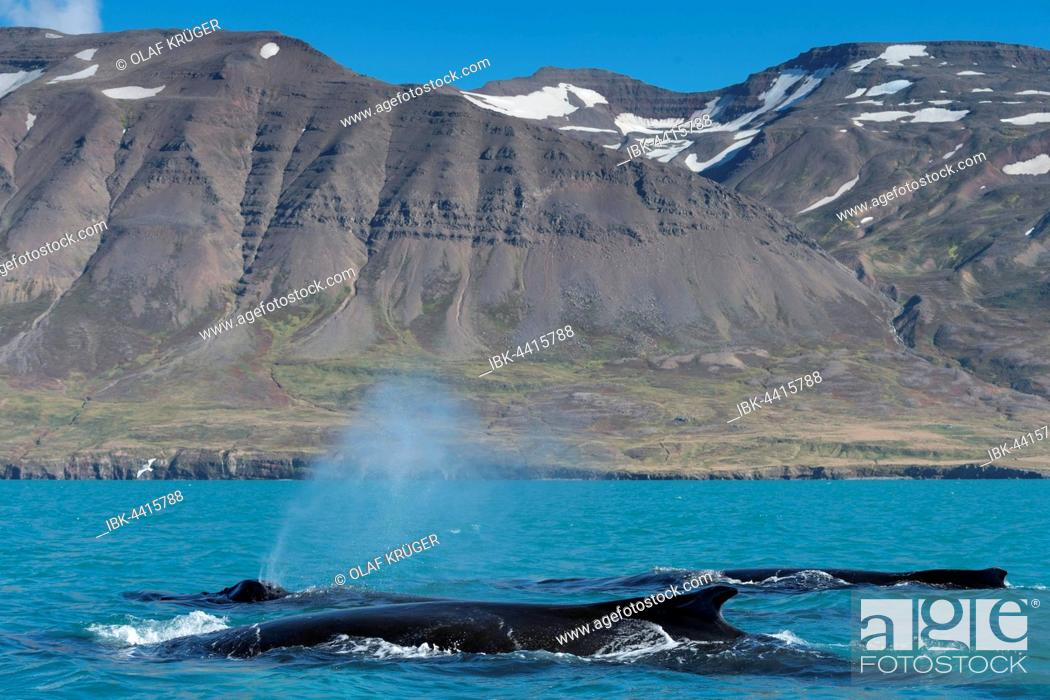 Imagen: Humpback whales swimming and blowing, (Megaptera novaeangliae, Eyjafjörður, Iceland.