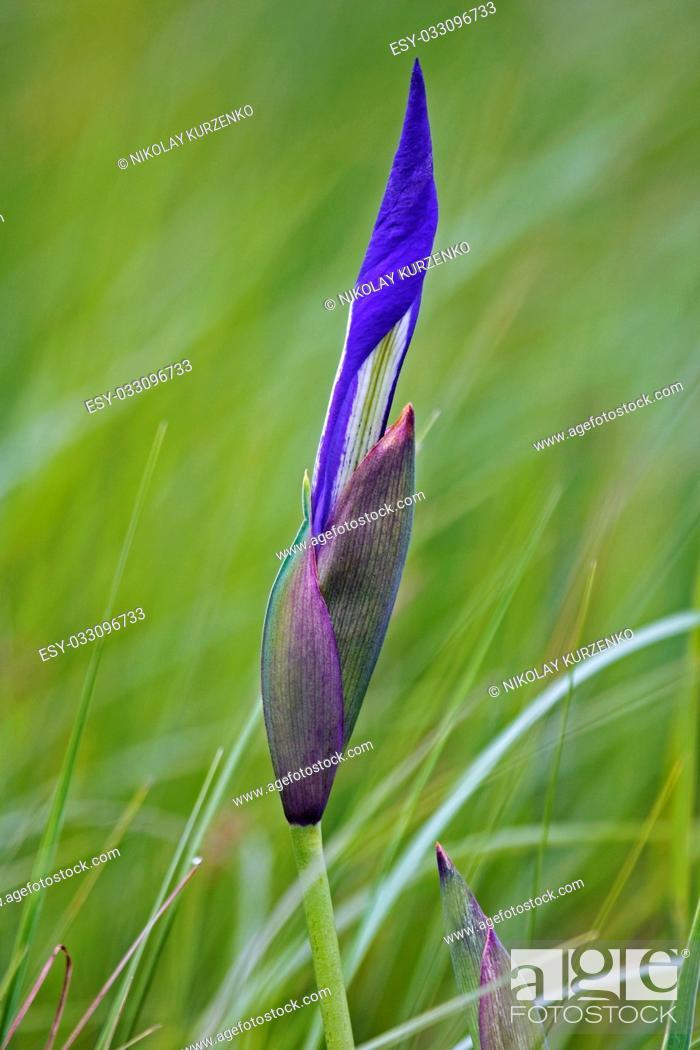 Imagen: Japanese iris (Iris laevigata). Called Rabbitear Iris, Shallow-flowered Iris and Kakitsubata also. Another scientific name are Iris albopurpurea and Iris.