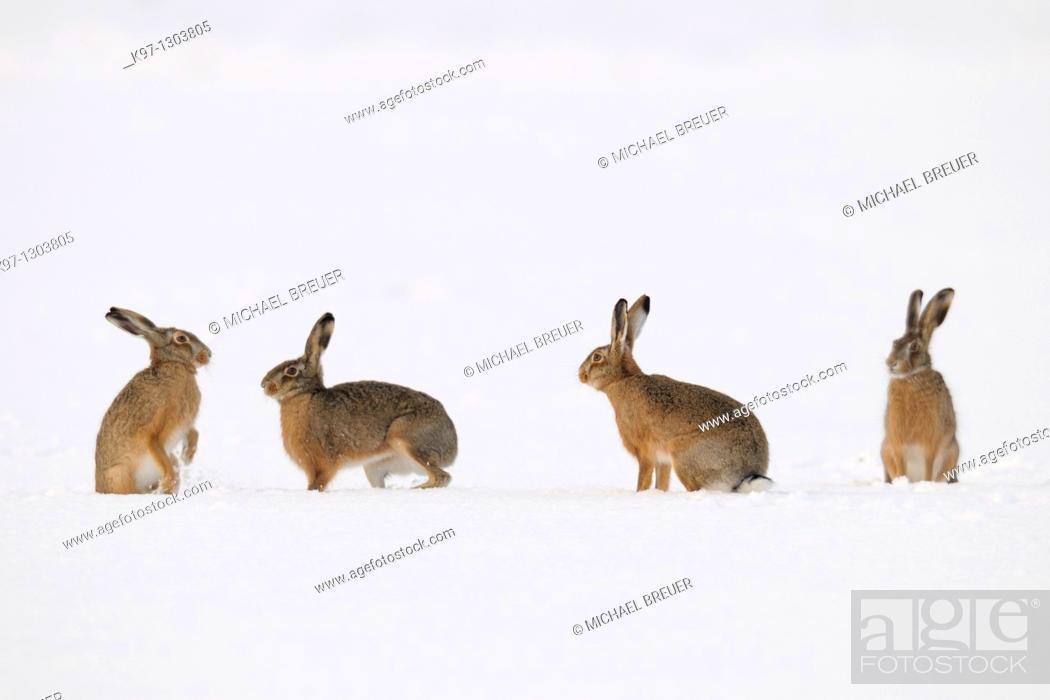 Stock Photo: European brown hares (Lepus europaeus) in winter, Germany, Europe.