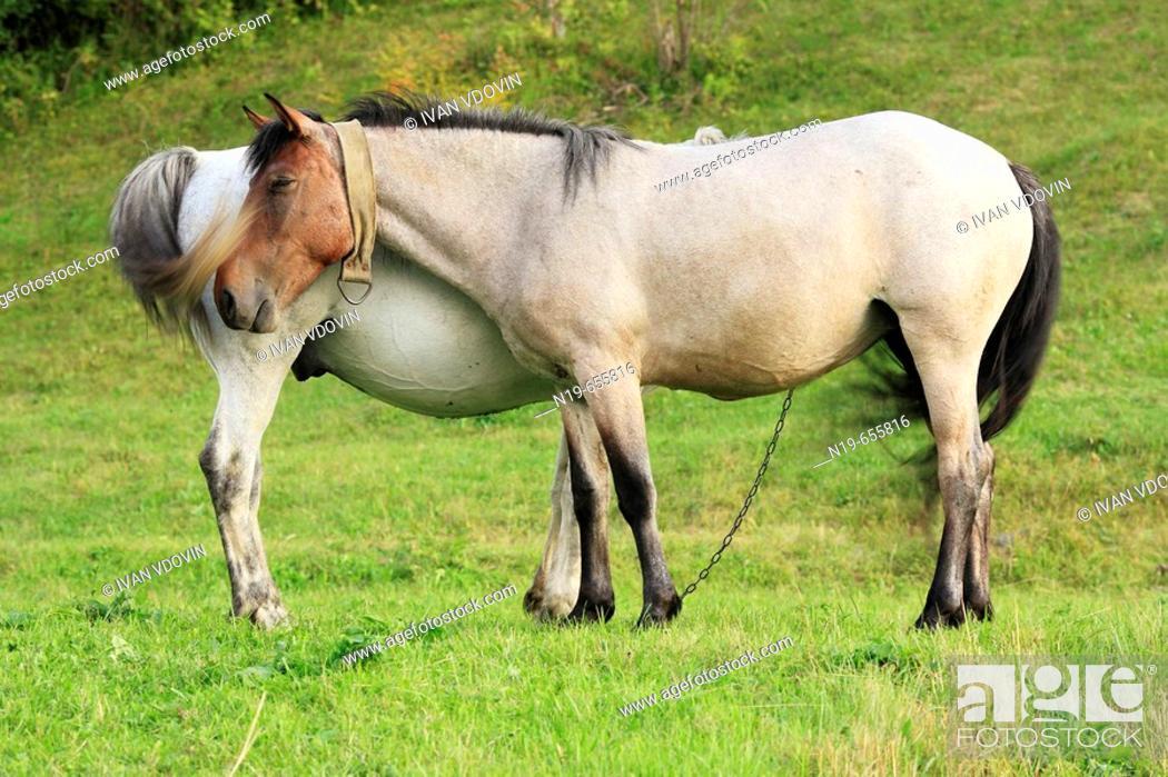 Stock Photo: Horses, Carpathians, Zakarpattia Oblast (Transcarpathian Oblast, Transcarpathia, Zakarpattya, Subcarpathian Rus), Ukraine.