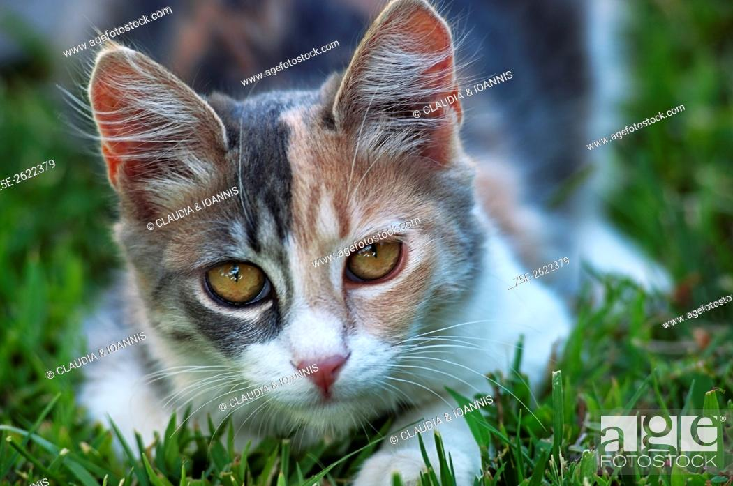 Stock Photo: Calico cat lying in the grass and looking at camera.