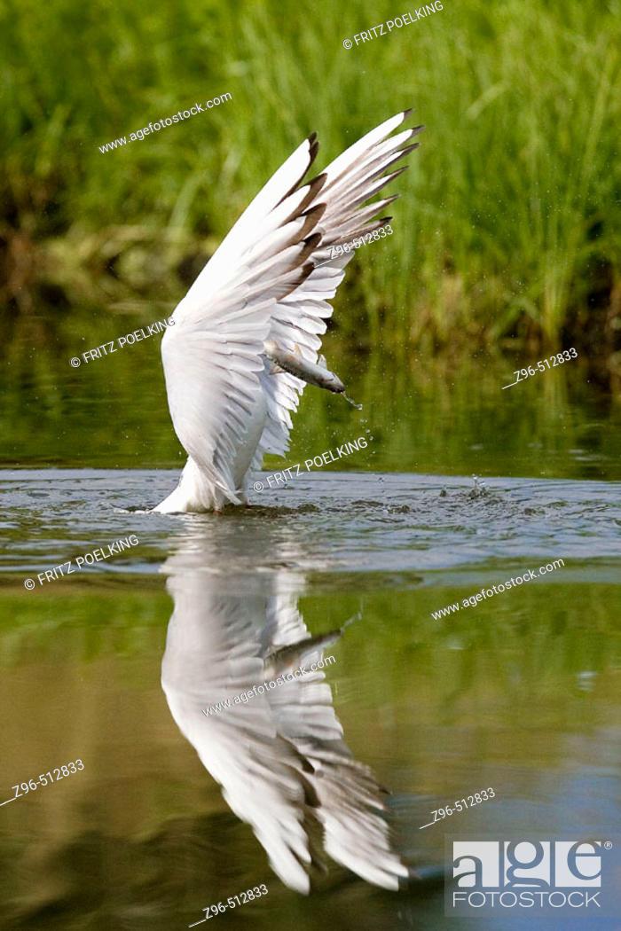 Stock Photo: Black-headed Gull (Larus ridibundus). Finland.