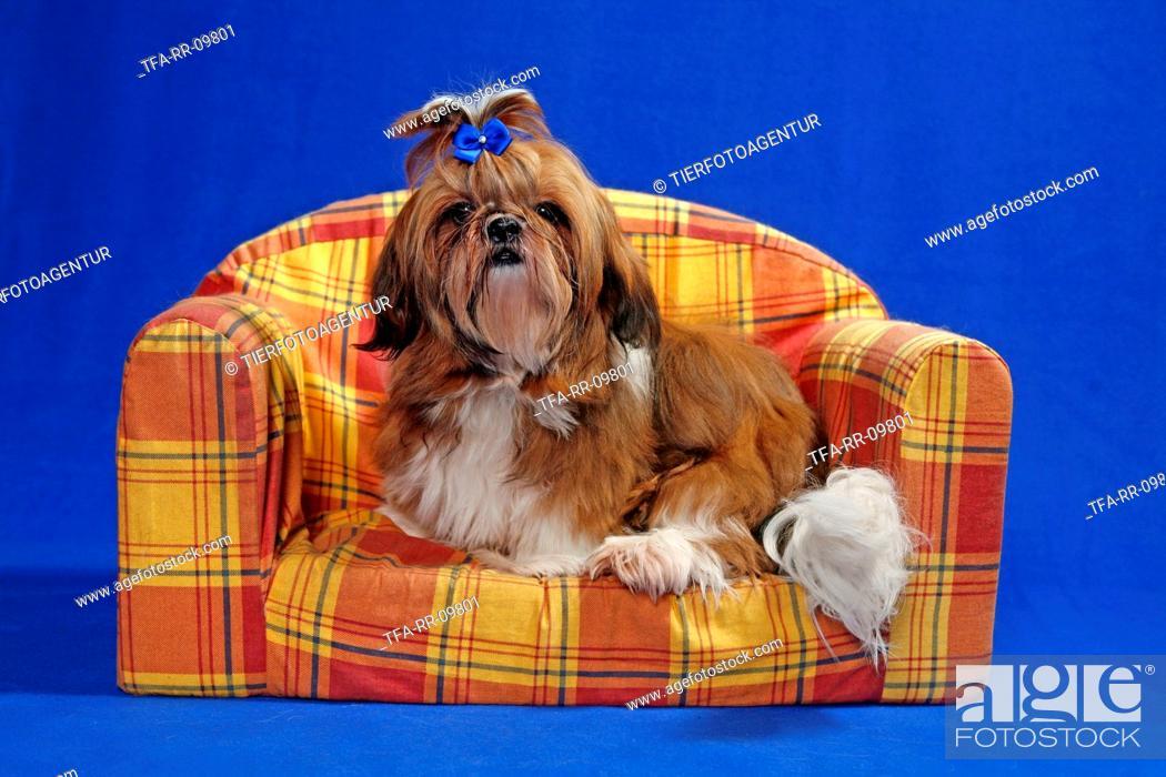 Stock Photo: sitting Shih Tzu.