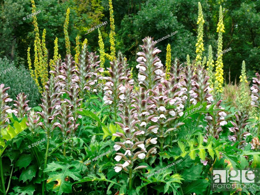Acanthus Hungaricus Akanthus Bears Breeches Stock Photo Picture