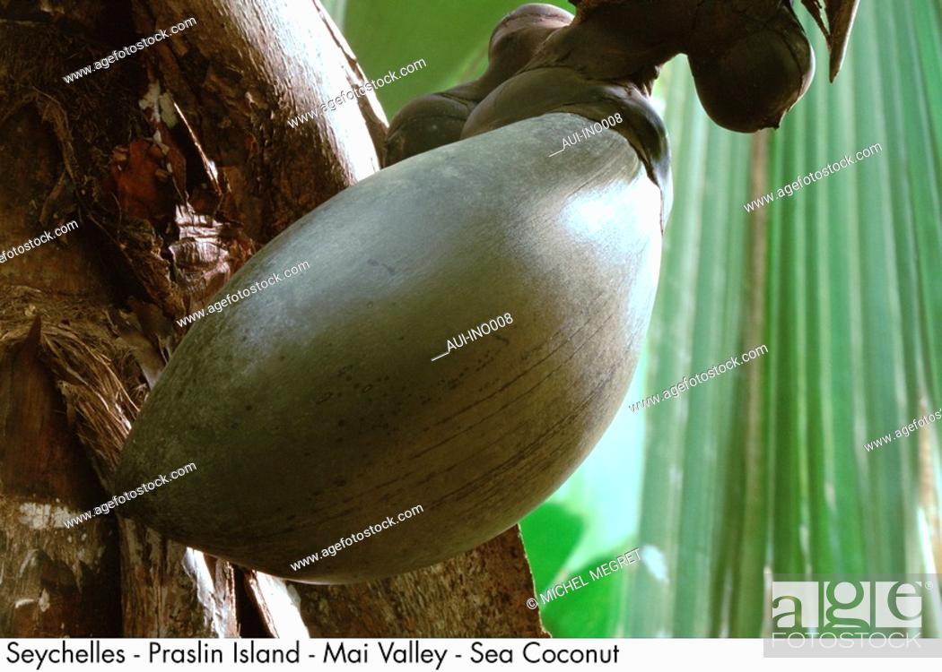 Stock Photo: Seychelles - Praslin Island - Mai Valley - Sea Coconut.