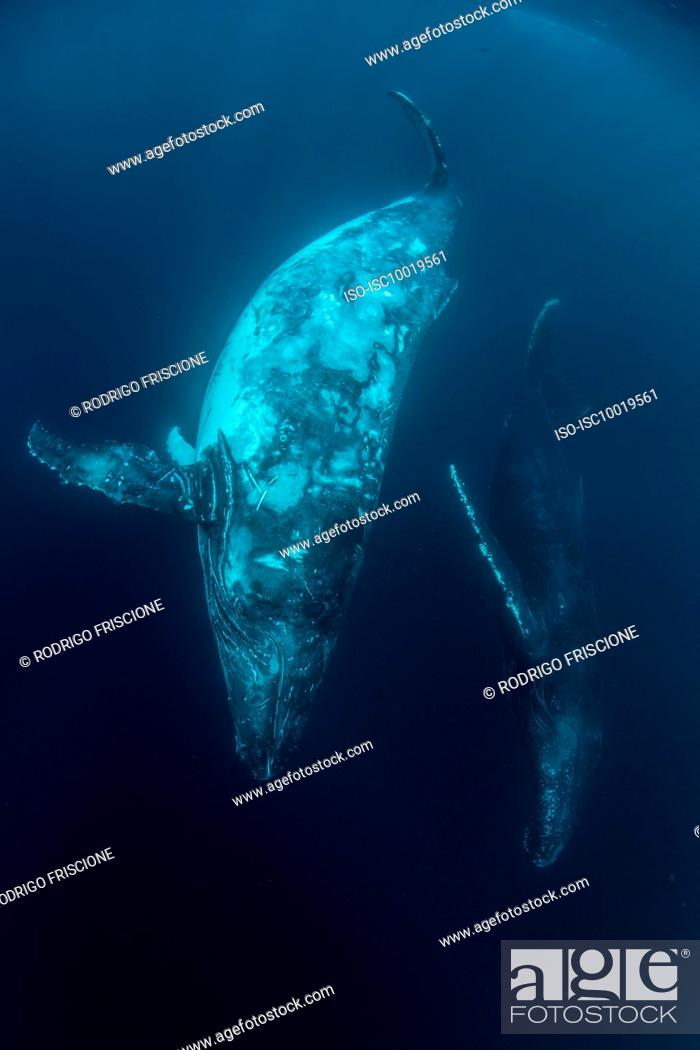 Stock Photo: Humpback whales.