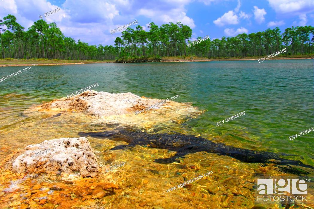 Stock Photo: American Alligator Alligator mississippiensis.